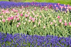 Camas de tulipán en el parque fotos de archivo libres de regalías