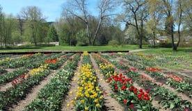 Camas de tulipanes finas florecientes de la primavera cerca del abandonado destruido Imagen de archivo libre de regalías