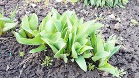 Camas de tulipanes verdes Fotos de archivo libres de regalías
