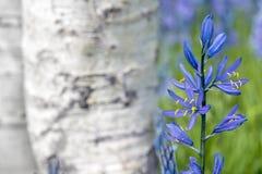 Camas Kwitnie w kwiacie z osik drzewami Zdjęcie Stock