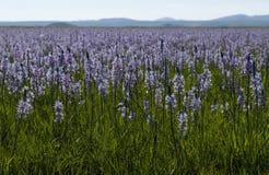 Camas liljablom i hundraårs- träsk Royaltyfri Fotografi
