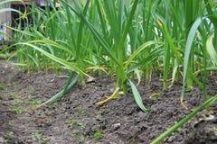 Camas vegetales con ajo Foto de archivo libre de regalías