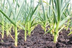 Camas vegetales con ajo Fotos de archivo