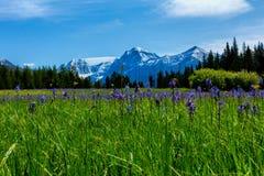 Camas Wildflower łąka zdjęcie royalty free