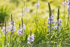 Camassia leichtlinii (great camas) Royalty Free Stock Images