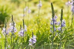 Camassialeichtlinii (stora camas) Royaltyfria Bilder