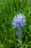Camassiaquamashblomma i blom Arkivfoto