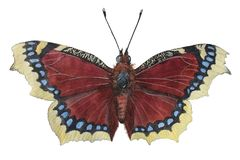 Free Camberwell Beauty Nymphalis Antiopa - Butterfly Mourning Cloak. Stock Photos - 160980183