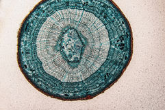 Cambial микроскоп замечания клеток Стоковое фото RF