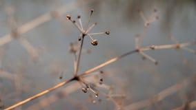 Cambiamento del concetto di stagioni: gambi sbiaditi sopra il fiume o il lago ghiacciato congelato in autunno tardo o in inverno  Immagini Stock