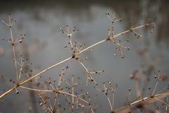 Cambiamento del concetto di stagioni: gambi sbiaditi sopra il fiume o il lago ghiacciato congelato in autunno tardo o in inverno  Fotografia Stock Libera da Diritti