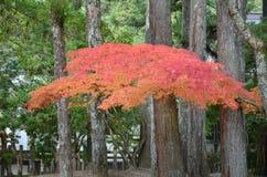 Cambio Japón del color rojo del otoño Foto de archivo libre de regalías