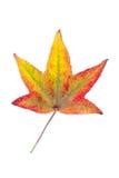 Cambio otoñal del color en la especie de árbol de arce Imágenes de archivo libres de regalías