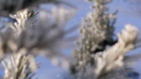 Cambios del foco de agujas del pino en escarcha al árbol de abeto metrajes