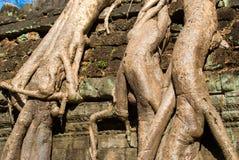 cambodi prohm przeprowadzać żniwa siem ta fotografia stock