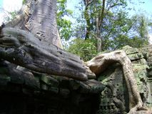 Cambodia angkor wat banyan tree growing out of carved stone sculpture. Cambodia angkor wat carved stone sculptures monuments buildings carvings historical temple stock images