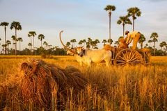 Cambodia rice with cow of field farm in kampong spue province Royalty Free Stock Images