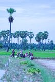 Cambodia rice of field farm in kampong spue province Royalty Free Stock Photos