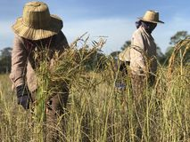 The rice harvesting stock image