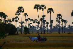 Cambodia rice with cow of field farm in kampong spue province Royalty Free Stock Image