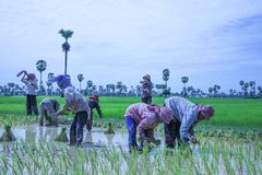Cambodia rice with cow of field farm in kampong spue province Stock Photography