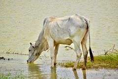 Cambodian cow on a countryside stock photography