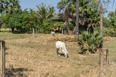 Cambodian farm Royalty Free Stock Photos