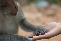Girl's Hand Feeding a Monkey Peanuts Stock Images