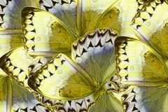 Cambodian Junglequeen Butterfly (Stichophthalma howqua). Beautiful multicolor pattern background texture made from Cambodian Junglequeen Butterfly ( royalty free stock photo