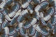 Cambodian Junglequeen Butterfly (Stichophthalma howqua) Stock Photo