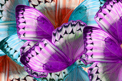Cambodian Junglequeen Butterfly (Stichophthalma howqua) Stock Image