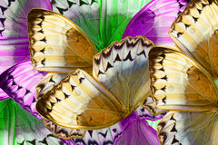 Cambodian Junglequeen Butterfly (Stichophthalma howqua) Royalty Free Stock Image