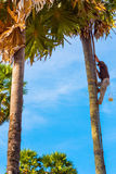 Cambodian man climbs a palmyra palm Stock Photography