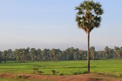 Cambodian Palm Tree Stock Image