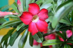 Cambodian Red Flowers royalty free stock photography