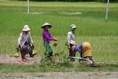 Cambodian rice field Royalty Free Stock Image