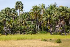 Cambodian rice field Royalty Free Stock Photos