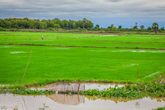 Cambodian rice fields Stock Images