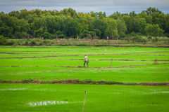 Cambodian rice fields Royalty Free Stock Photos