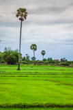 Cambodian rice fields Stock Photography
