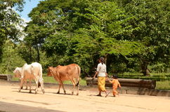 A Cambodian woman and child with oxen Royalty Free Stock Images