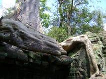 Cambodja Angkor Wat banyanträd som växer ut ur sniden stenskulptur Arkivbilder