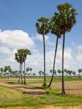 Cambodjaanse palmen Stock Afbeeldingen