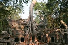 cambodjaprohm rotar ta-tempeltreen Fotografering för Bildbyråer