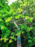 Camboja, ponte na floresta dos manguezais fotografia de stock royalty free