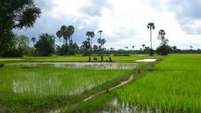 Camboyanos que trabajan en el campo del arroz foto de archivo