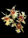 Cambria orchid Arkivbild