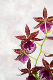 Cambria Orchid. With diffused background Stock Photos