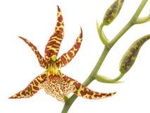 cambriablomman blommar orchidorchids Arkivbilder