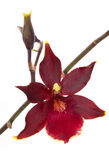 cambriablomman blommar orchidorchids Arkivbild